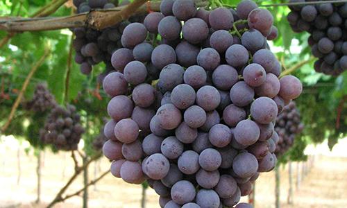 Uva da tavola covignobleitalia - Vivai rauscedo uva da tavola ...