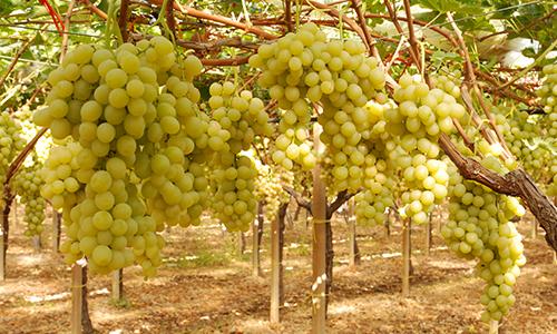 Uva da tavola covignobleitalia - Piante uva da tavola ...